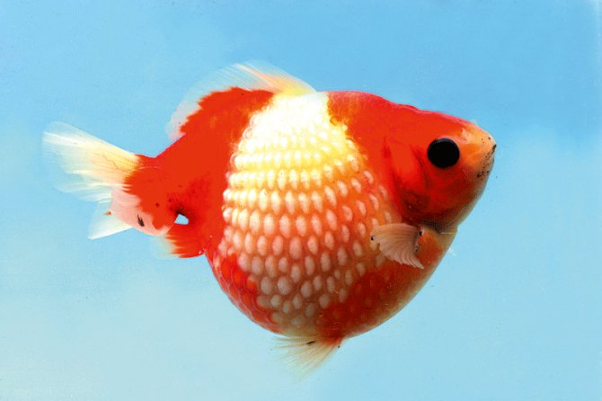 Pearlscale Care - Pearlscale Goldfish