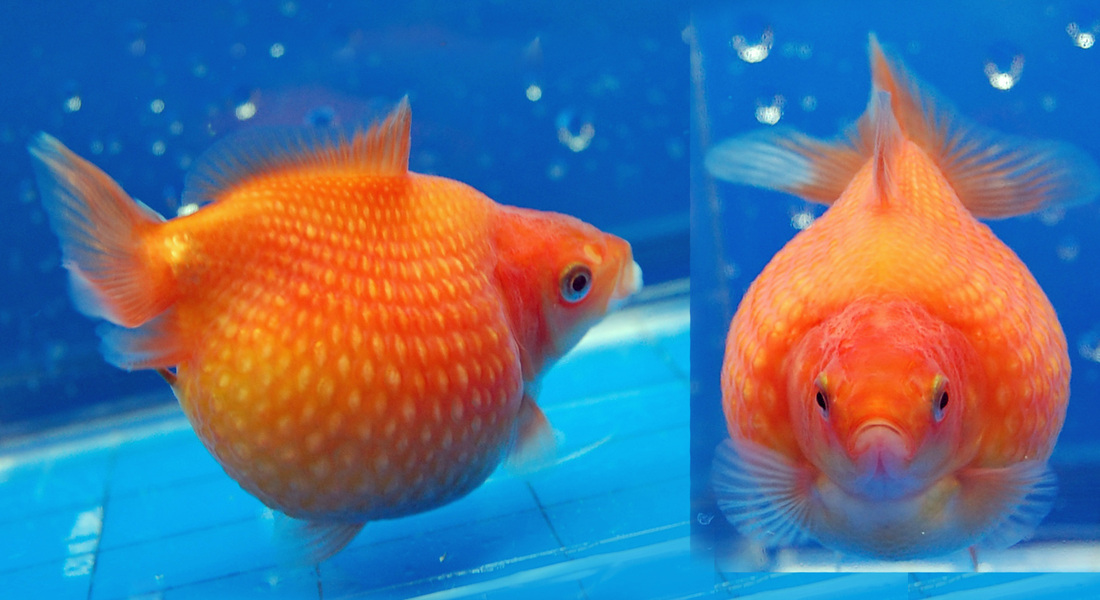 Pearlscale goldfish - photo#9